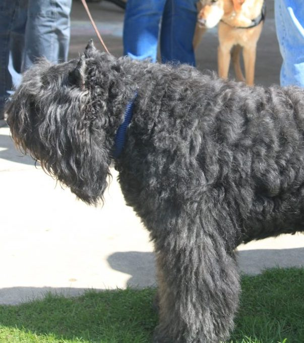 Bouvier Des Flandres Club Of